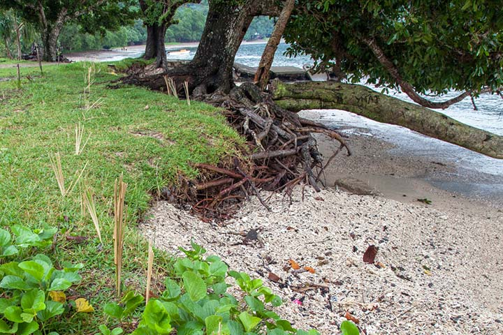 Vetiver grass and pandanus planted to stabilise the foreshore to reduce coastal erosion in Sola, Vanua Lava